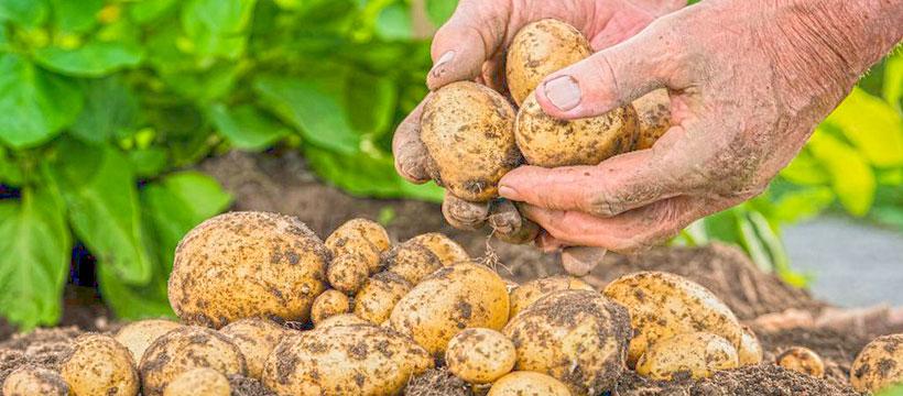 Торове за картофи